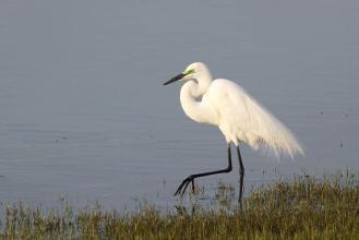 Great Egret, Ndumo - in breeding plumage