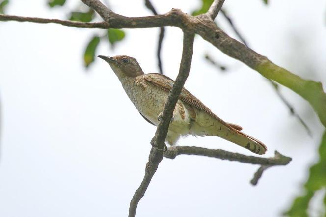 Klaas's Cuckoo - female, Mkuze (Not a Klass's!!)