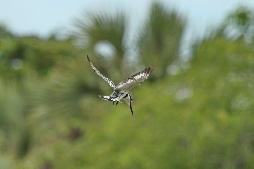 Pied Kingfisher about to go for it.
