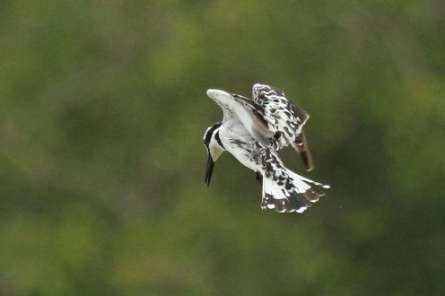 Pied Kingfisher waiting patiently