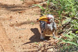 Yellow-billed Hornbill,Mkuze (NOT a Red-billed!!!)