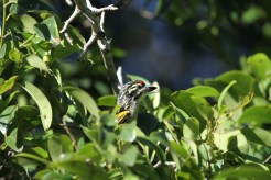Red-fronted Tinkerbird - peek-a-boo