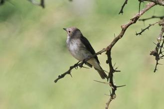 Spotted Flycatcher,