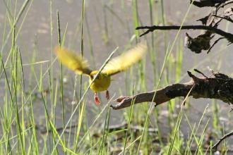 Yellow Weaver being given a hand
