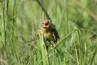 Yellow Weaver- I need food! Now!