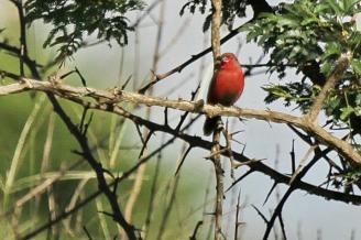 African Firefinch