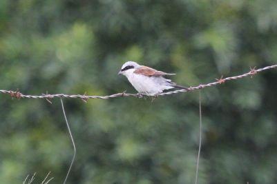 Red-backed Shrike - male