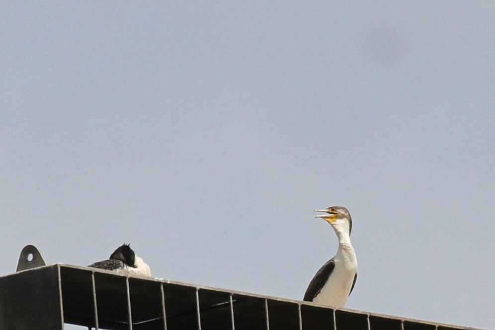 White-breasted Cormorant,