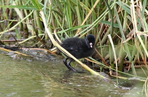 Black Crake - chick