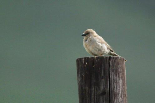 Cape Sparrow - juvenile - we think?