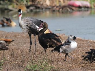 Comb Duck, Spur-winged Goose and Grey-crowned Crane