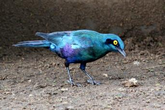Greater Blue-eared Starling?