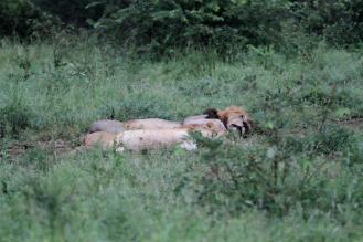 Lions - sleeping it off!