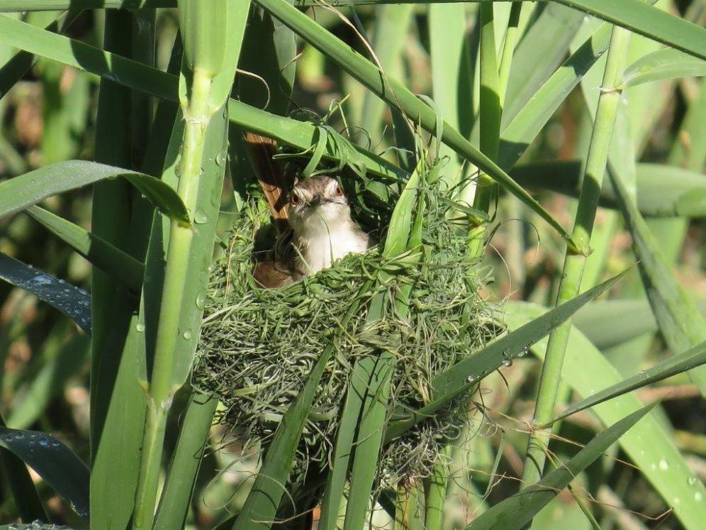 Tawny-flanked Prinia nest building
