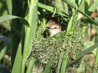 Tawny-flanked Prinia- peek-a-boo