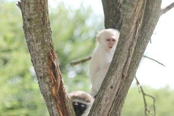 Vervet Monkey - looking rather human