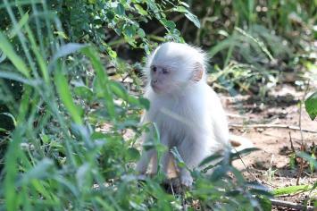Vervet Monkey - pale phase