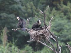 White-breasted Cormorants on nest with young
