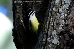 Yellow-rumped Tinkerbird (Pogoniulus bilineatus)_D714357