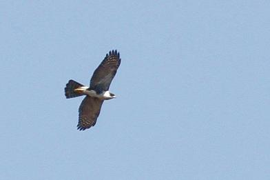 Black Sparrowhawk in flight