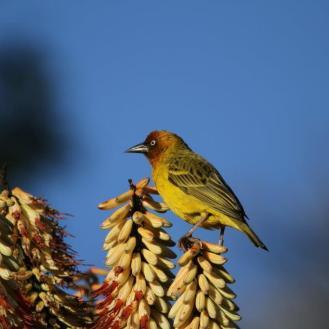 Cape Weaver