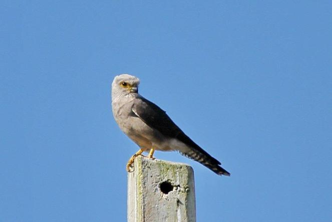 Dickinson's Kestrel - seen next to the road on the way south.
