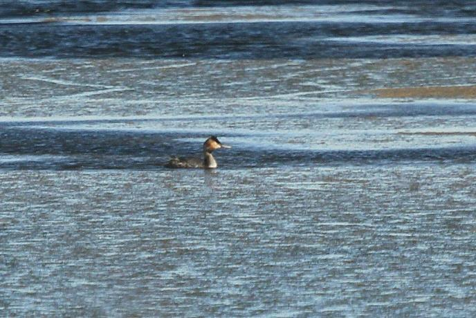 Greater Crested Grebe - seen en route before Komatiport.