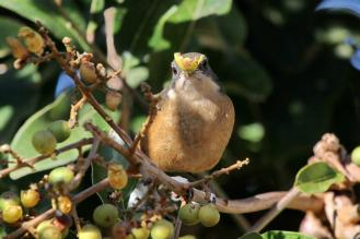 Southern Boubou with his mouth full.