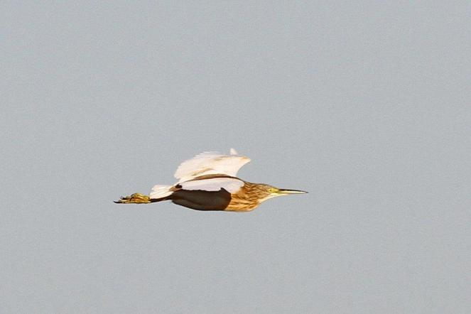 Squacco Heron - fooling us into a hopeful Malagasy Pond Heron