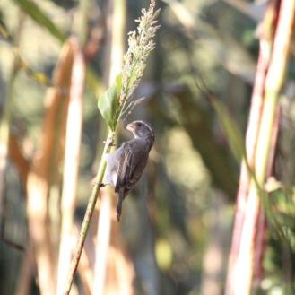 Streaky-headed Seedeater