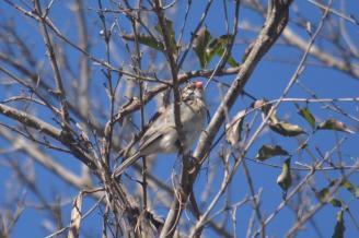 Pin-tailed Whydah-Decklan Jordaan