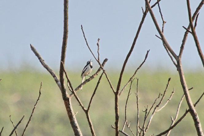 African Pied Wagtail singing to its heart's content.