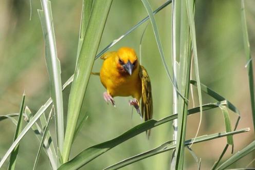Brown-throated Weaver