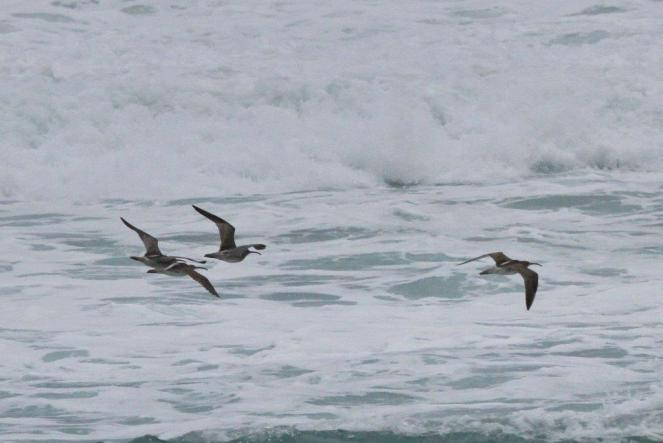 Common Whimbrels