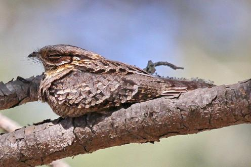 Fiery-necked Nightjar behaving like an European Nightjar - lying lengthways on a branch.