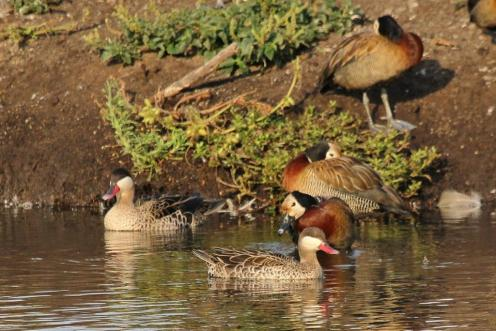 Red-billed Teals & White-faced Ducks