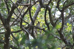 Scaly-throated honeyguide 1