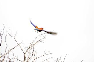 Broad-billed Roller in flight