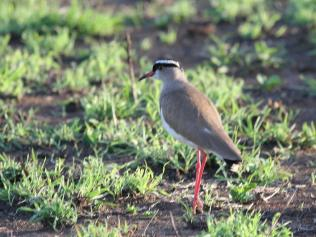 Crowned Lapwing guarding nest
