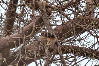 African Hawk-Eagle - juvenile