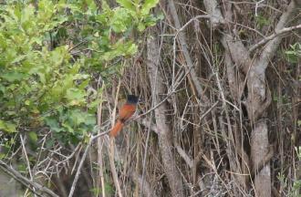 African Paradise-Flycatcher