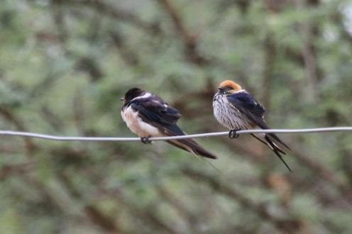 Barn and Lesser Striped Swallows