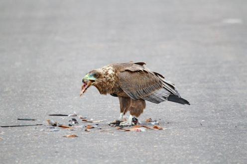 Bateleur - juvenile. And the remains of a Burchell's Coucal.