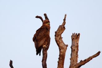 Bateleur - juvenile