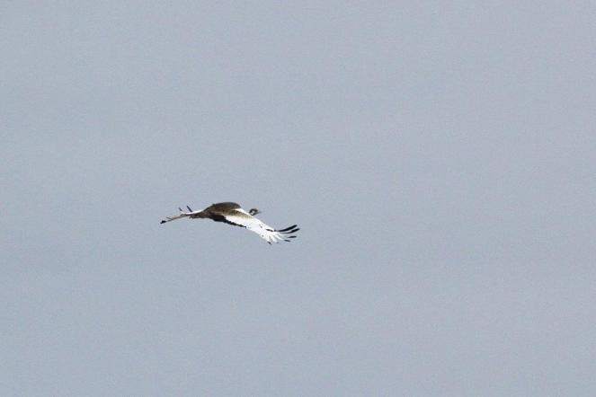 Black-bellied Bustard in flight