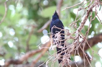 Black Cuckooshrike - male
