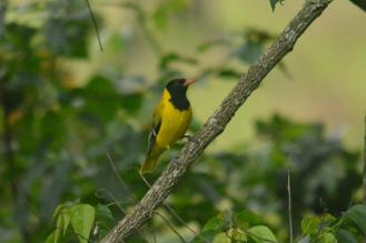 Black-headed Oriole -Hennie (2)