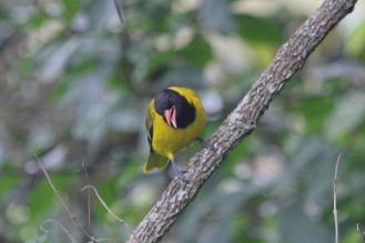 Black-headed Oriole singing a strange call
