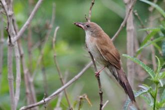 Broad-tailed Warbler