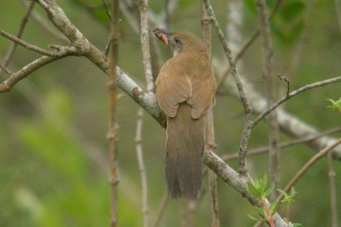 Broad-Tailed Warbler - Decklan